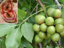 Плоды диптерикса