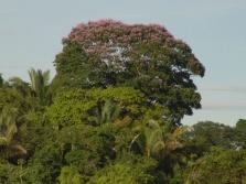 Диптерикс - дерево бобов тонка