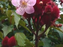 Аннато - цветение растения
