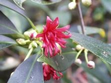 Цветок бадьяна