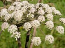 Растение кумин