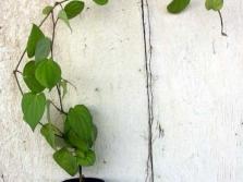 Молодые лианы черного перца