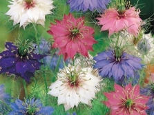 Цветы нигеллы