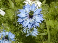 Nigella damascenа