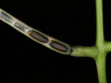 Семена чесночницы в стручке