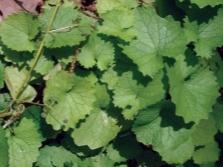 Листья чесночной травы