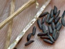 Семена чесночной травы
