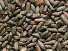 Семена чесночника