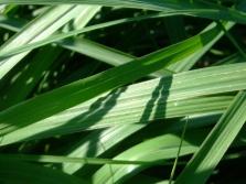 Листья цитронеллы