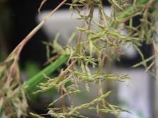 Цветы цитронеллы