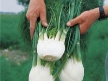 Урожай фенхеля