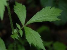 Листья гравилата