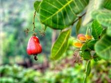 Плод кешью