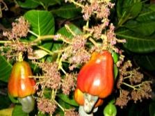 Кешью плод на дереве