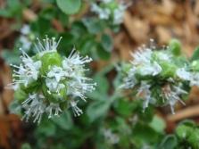 Цветы майорана