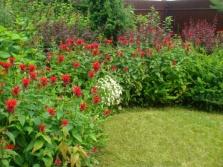 Выращивание монарды, как декоративное растение