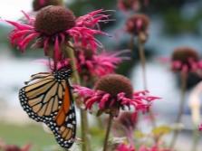 Монарда и бабочки