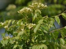 Листья мурайи