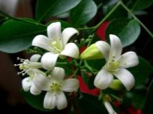 Цветы муррайи