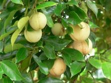 Плод мускатного дерева