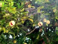 Дерево мускатника