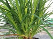Выращивание пандануса в домашних условиях