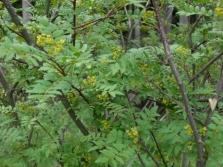 Растение специи Перечное дерево