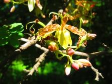 Цветение тамаринда