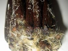 Кристаллы натурального ванилина
