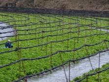 Васаби выращиваемый на фермах