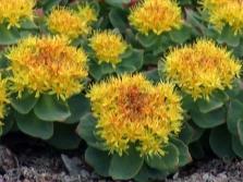 Цветы золотого корня