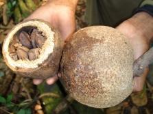 Плод бразильского ореха