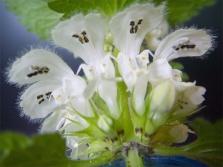 Цветы крапивы