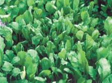 Кресс-салат садовый или цицмат