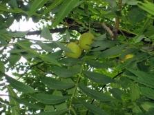 Листья дерева черного ореха непарноперистые