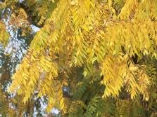 Листья дерева черного ореха осенью
