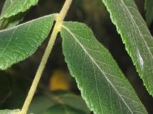 Листки дерева черного ореха вблизи