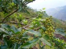 Дерево сычуаньского перца с молодыми плодами