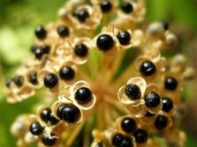 Семена черемши