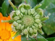 Ноготки - семена календулы