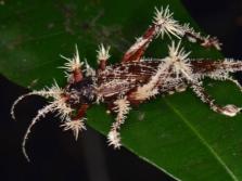 Рост Кордицепса на насекомых