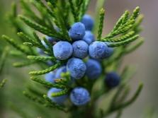 Зрелые плоды можжевельника