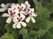 Pelargonium echinatum Curtis