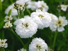 Птармика или трава чихотная