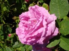 Моховые розы