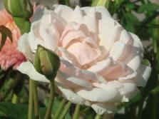 Нуазетовые розы