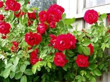 Сорт роз Flammentanz