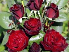 Сорт роз Barcarole