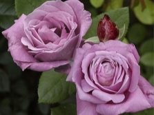 Сорт роз Blue Parfum