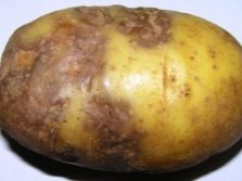 Картошка белла росса описание сорта